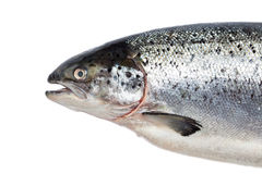 Salmon fish isolated on white Stock Image