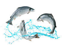 Salmon fish jumping out of water Stock Image