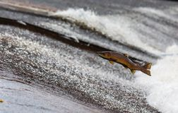 Salmon, Fish, Run, Jump, Travel Royalty Free Stock Images