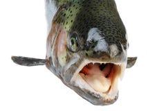 Salmon fish. Salmon fish isolated on white background Stock Image