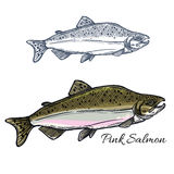 Salmon fish sketch for seafood and fishing design. Pink salmon fish sketch. Humpback salmon in spawning phase with gray back and light belly isolated icon for Royalty Free Stock Image