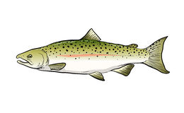 Salmon Fish Sketch Vector Illustration Royaltyfri Foto