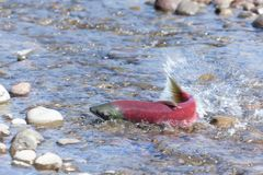 Salmon fish spawning close-up royalty free stock photography