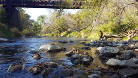 Salmon Fish Swimming Behind River bascule/rocher en automne banque de vidéos