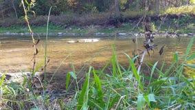 Salmon Fish Swimming /Splashing met Bladeren die in de Herfst vallen stock video
