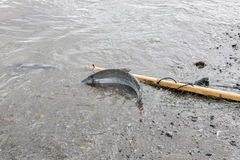 Salmon fishing Stock Images