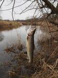 Salmon on fishing-rod Royalty Free Stock Photos