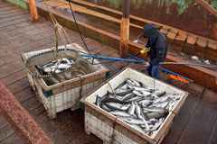 Salmon fishing season Royalty Free Stock Photo