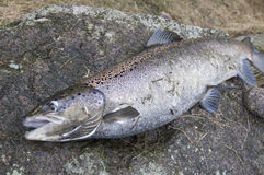 Salmon fishing in Sweden Stock Photography