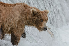 A salmon get away from a mother grizzly bear positioned at the top of a waterfall - Brook Falls - Alaska Royalty Free Stock Photos