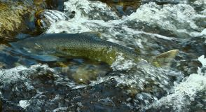 SALMON GOING UPSTREAM ONTARIO stock photos