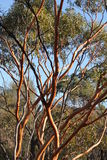Salmon Gums with red bark Stock Images