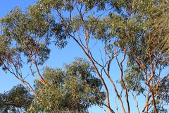Salmon Gums with red bark Stock Photography