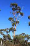 Salmon Gums with red bark Stock Photo