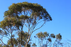 Salmon Gums with red bark Stock Photos