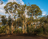Salmon Gums on Toodyay Road Royalty Free Stock Photo