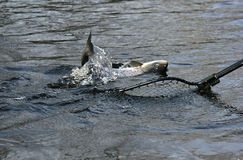 Salmon on the hook royalty free stock images