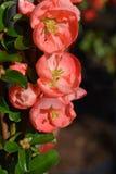 Salmon Horizon Flowering Quince fotos de stock royalty free