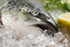 Salmon on ice Royalty Free Stock Photo