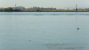 Salmon Jump op Fraser River stock videobeelden