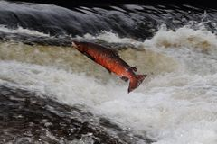 Salmon jumping Stock Photo
