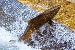 Salmon Jumping simple à l'établissement d'incubation de ce dernier de poissons Photo libre de droits
