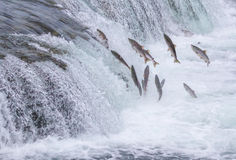 Salmon Jumping Up the Falls Royalty Free Stock Photos