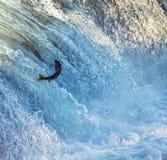 Salmon. In Katmai river Royalty Free Stock Photos