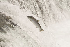 Salmon leaping Brooks Falls in white water Stock Photo