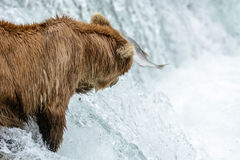 A salmon literally flies in front of a grizzly bear - Brook Falls - Alaska Stock Images