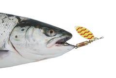 Salmon from metal bait Stock Photos