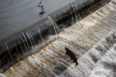 Salmon navigating a fish ladder. Fish ladder at the Issaquah Fish Hatchery, Issaquah, WA royalty free stock images