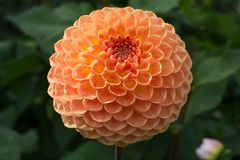 Salmon orange dahlia flower, beatyful bouquet or decoration from Stock Images
