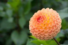 Salmon orange dahlia flower, beatyful bouquet or decoration from Stock Photos