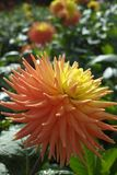 Salmon orange dahlia flower, Beautiful bouquet or decoration fro. Salmon orange dahlia flower on the plant, Beautiful bouquet or decoration from the garden royalty free stock photos