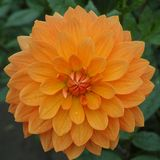 Salmon orange dahlia flower, Beautiful bouquet or decoration fro. Salmon orange dahlia flower on the plant, Beautiful bouquet or decoration from the garden royalty free stock photography