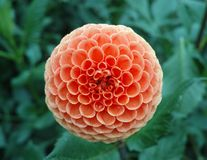 Salmon orange dahlia flower, Beautiful bouquet or decoration fro. Salmon orange dahlia flower on the plant, Beautiful bouquet or decoration from the garden stock photography