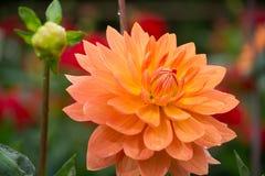 Salmon orange dahlia flower, beatyful bouquet or decoration from Stock Photo