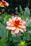 Salmon orange dahlia flower, beatyful bouquet or decoration from Royalty Free Stock Images