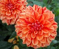 Salmon orange dahlia flower, Beautiful bouquet or decoration fro. Salmon orange dahlia flower on the plant, Beautiful bouquet or decoration from the garden stock photo