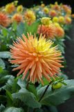 Salmon orange dahlia flower, Beautiful bouquet or decoration fro. Salmon orange dahlia flower on the plant, Beautiful bouquet or decoration from the garden stock photos