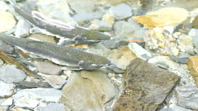 Salmon Pair Clear Stream Fish, der fügende wild lebende Tiere laicht stock footage