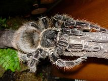 Salmon Pink Birdeater Tarantula Stock Images