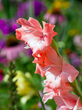 Salmon Pink Gladiolus Flower Spike stock photography