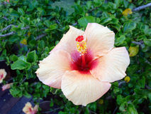 Salmon Pink Hibiscus Flower Royalty-vrije Stock Foto's