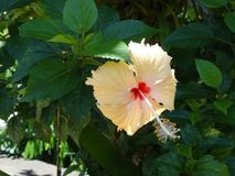 Salmon Pink Hibiscus Flower Royalty Free Stock Images