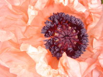 Salmon-pink oriental poppy royalty free stock photo