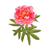 Salmon-pink peony flower and leaves on white Royalty Free Stock Photography