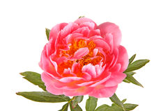 Salmon-pink peony flower, stem and leaves on white Royalty Free Stock Images