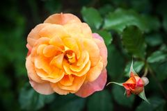 Salmon Pink Rose Royaltyfri Foto
